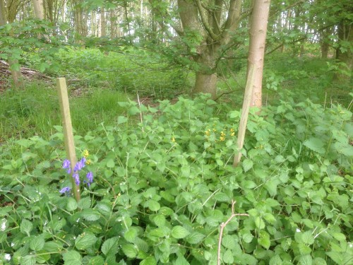 Native flora in new woodland